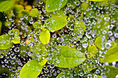 Closeup Of Morning Dew On Leaves