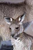 Eastern Grey Kangaroo, Macropus Cinereus, Australia