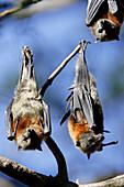 Grey-Headed Flying Fox Fruitbats, Pteropus Poliocephalus, Australia