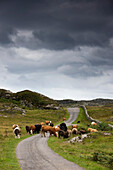 Cattle On A Rural Road, Scotland