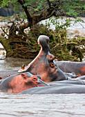 Yawning Hippo (Hippopotamus Amphibius), Serengeti National Park, Tanzania, Africa