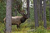 'Jasper National Park, Jasper, Alberta, Canada; Bull Elk (Cervus Canadensis)During Rut Season'