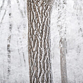 'Winnipeg, Manitoba, Canada; A Tree Trunk And It's Branches Covered With Snow'