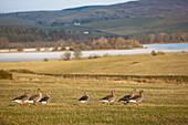 'Dumfries, Scotland; Ducks Walking On The Grass Near The Water'