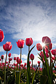 'Woodburn, Oregon, United States Of America; Tulips In A Field With The Sun Shining'