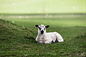 'Northumberland, England; A Sheep Sits Alone In A Pasture'