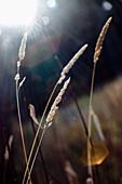 'Spruce Grove, Alberta, Canada; Wheat Grass In The Sunlight'