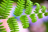 'Ferns Found On Mount Hood In The Oregon Cascades; Oregon, Usa'