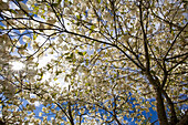'A Tree With Blossoms In Happy Valley Park; Oregon, Usa'