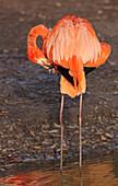 'Captive America Flamingo At The Zoo; England'
