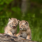 'Two Canada Lynx (Lynx Canadensis) Kittens Playing On A Log; Canmore, Alberta, Canada'