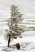 'A Buffalo Alone In A Winter Landscape In Lamar Valley In Yellowstone National Park; Wyoming, Usa'