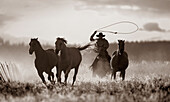 'Cowboy Lassoing Horses; Senaca, Oregon, Usa'