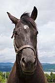 'Dark Brown Horse; Ile D'orleans, Quebec, Canada'
