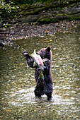 'Grizzly Bear Cub Standing On His Hind Legs Catching A Chum Salmon; Hyder, Alaska, Usa'
