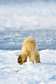 'Polar Bear (Ursus Maritimus) Shows His Unique Footprint Design As He Walks Away In Search Of Food; Churchill, Manitoba, Canada'