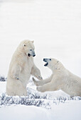 'Two Polar Bears Play Fighting To Sharpen Their Hunting Skills As They Wait For The Ice To Freeze Over At Hudson Bay; Churchill, Manitoba, Canada'