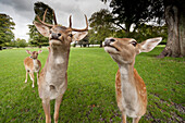 'Deer (Cervidae) Coming Close To The Camera; Northumberland, England'