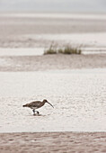 'A Heron (Ardeidae) Wading In The Shallow Water; Northumberland, England'