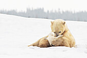 'Polar Bear Sow (Ursus Maritimus) Holds Her Young Cub Tenderly In Her Paws At Wapusk National Park; Churchill, Manitoba, Canada'