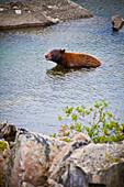 'American Black Bear (Ursus Americanus) Bathing In The Water; Skagway, Alaska, United States Of America'