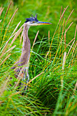'Great Blue Heron (Ardea Herodias) Standing In The Tall Grass; Skagway, Alaska, United States Of America'