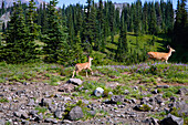 'Deer (Cervidae) In Paradise Park In Mt. Rainier National Park; Washington, United States Of America'