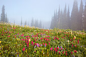 'Wildflowers In The Morning Fog In Paradise Park In Mt. Rainier National Park; Washington, United States Of America'