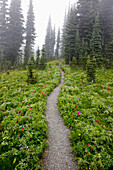 'A Hiking Trail In The Fog In Paradise Park In Mt. Rainier National Park; Washington, United States Of America'