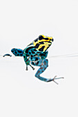 Black, Yellow And Blue Poison Dart Frog (Dendrobates Ventrimaculatus) Sitting On The Edge Of A Drinking Glass