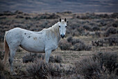 'A Wild Horse In A Field; Wyoming, United States Of America'