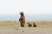'A Brown Grizzly Bear (Ursus Arctos Horribilis) Standing Up With Cubs; Alaska, United States Of America'