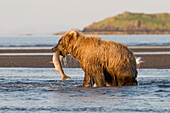 'A Brown Grizzly Bear (Ursus Arctos Horribilis) Catching A Salmon; Alaska, United States Of America'