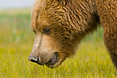 'A Brown Grizzly Bear (Ursus Arctos Horribilis); Alaska, United States Of America'