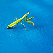 'Praying Mantis On A Blue Surface; Benalamadena Costa, Malaga, Costa Del Sol, Andalusia, Spain'