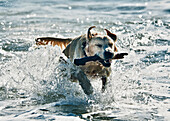 'A Dog Fetching A Stick In The Water; Tarifa, Cadiz, Andalusia, Spain'