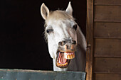 'A Horse With His Mouth Open Showing His Teeth; Benalamadena Costa, Malaga, Costa Del Sol, Andalusia, Spain'