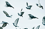 'Birds In Flight In The Sky; Benalamadena Costa, Malaga, Costa Del Sol, Andalusia, Spain'