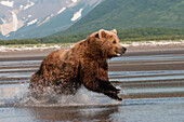 'A Grizzly Bear (Ursus Arctos Horribilis) Running Through The Water; Alaska, United States Of America'