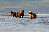 'Three Grizzly Bears (Ursus Arctos Horribilis) Fishing; Alaska, United States Of America'