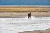 'Grizzly Bear (Ursus Arctos Horribilis) Running Through A Stream; Tenakee Springs, Alaska, United States Of America'