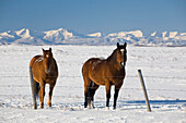 'Two Horses In Snow-Covered Field; Okotoks, Alberta, Canada'