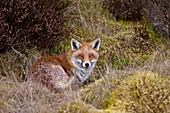 A Red Fox (Vulpes Vulpes)