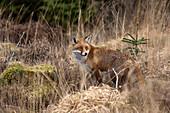 'A Red Fox (Vulpes Vulpes) Standing In Brown Grass; Dumfries, Scotland'