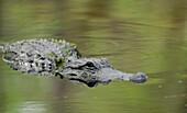 'Alligator In Water; Florida, Usa'