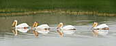 'American White Pelicans Swim In A Line On The Yellowstone River; Wyoming, Usa'