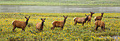 'Elk (Cervus Canadensis) Herd In Wildflowers Along The Gardiner River, Yellowstone National Park; Wyoming, United States Of America'