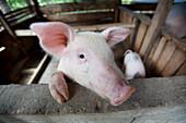 'Female Pig In Pen; Bais, Negros, Philippines'