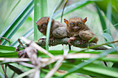 'Two Wild Tarsiers (Tarsius) Sitting On A Branch Of A Tree At The Tarsier Research And Development Center; Island Of Bohol, Philippines'