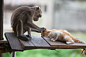 'A Captured Pet Monkey Grooms A Kitten At A Farmer's Property Near Bias City; Negros Island, Philippines'
